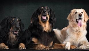 Kessy vom Hundsbühl, Indira vom Kolpeterberg und Josy vom Kolpeterberg